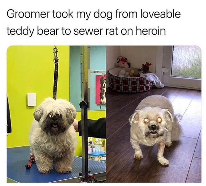 Dog - Groomer took my dog from loveable teddy bear to sewer rat on heroin