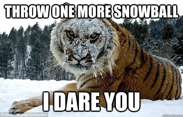 Tiger Meme of a tiger that is sitting in the snow and it's face is covered in snow