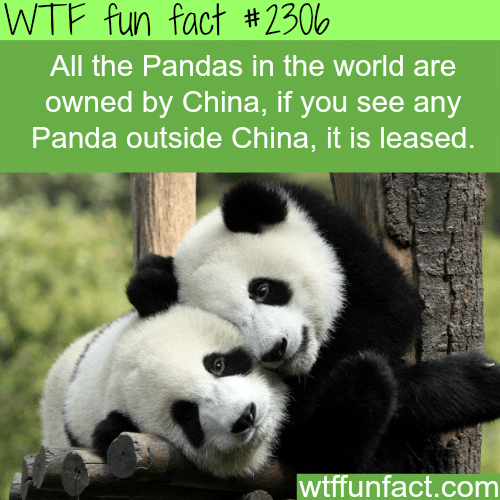 Panda - WTF fun fact #2306 All the Pandas in the world are owned by China, if you see any Panda outside China, it is leased. wtffunfact.com