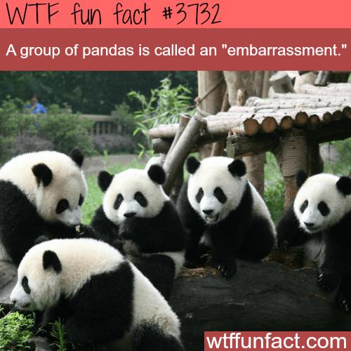 "Panda - WTF fun fact #3132 A group of pandas is called an ""embarrassment."" wtffunfact.com"