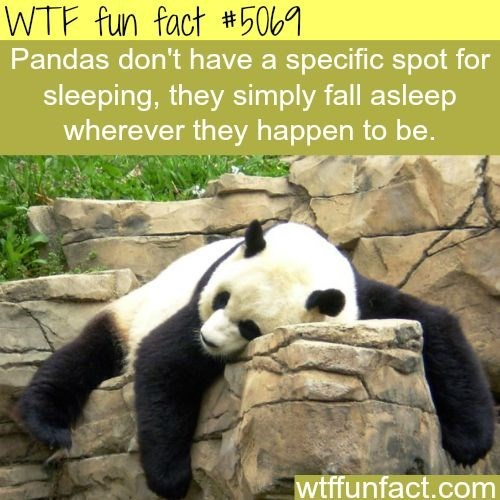 Panda - WTF fun fact #50 Pandas don't have a specific spot for sleeping, they simply fall asleep wherever they happen to be. wtffunfact.com