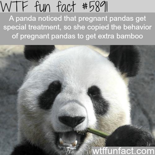 Panda - WTF fun fact #581 A panda noticed that pregnant pandas get special treatment, so she copied the behavior of pregnant pandas to get extra bamboo wtffunfact.com
