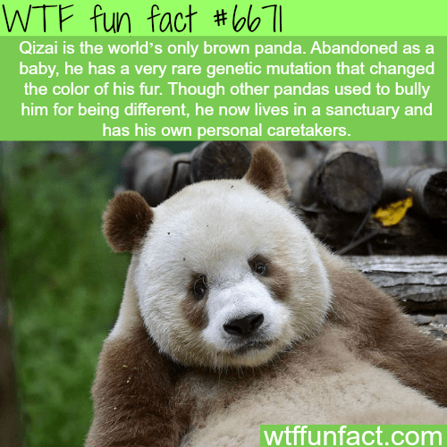 Mammal - WTF fun fact #olb 71 Qizai is the world's only brown panda. Abandoned as a baby, he has a very rare genetic mutation that changed the color of his fur. Though other pandas used to bully him for being different, he now lives in a sanctuary and has his own personal caretakers. wtffunfact.com