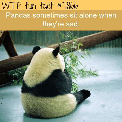 Panda - WTF fun fact # 7866 Pandas sometimes sit alone when they're sad.