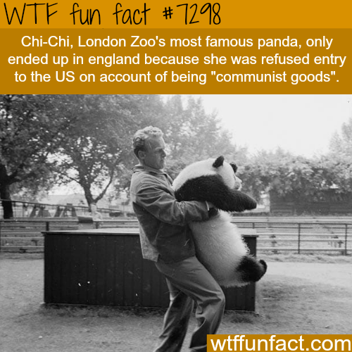 """Photo caption - WTF fun fact #1298 Chi-Chi, London Zoo's most famous pand, nln ended up in england because she was refused entry to the US on account of being """"communist goods"""". wtffunfact.com"""