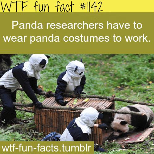 Adaptation - WTF fun fact #142 Panda researchers have to wear panda costumes to work. wtf-fun-facts.tumblr