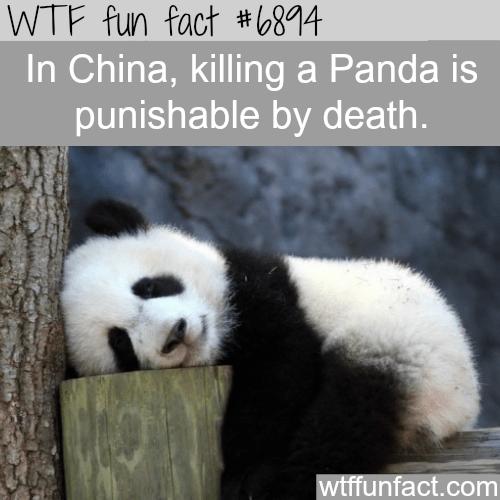 Panda - WTF fun fact #6814 In China, killing a Panda is punishable by death. wtffunfact.com