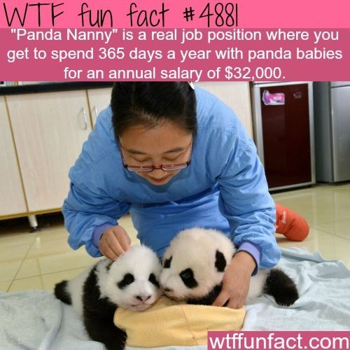 """Panda - WTF fun fact #488] """"Panda Nanny"""" is a real job position where you get to spend 365 days a year with panda babies for an annual salary of $32,000 wtffunfact.com"""