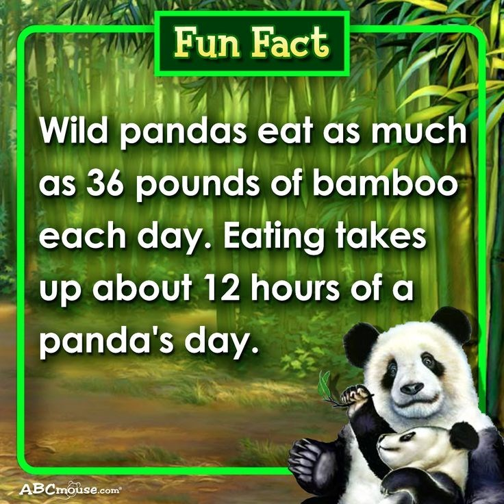 Nature reserve - Fun Fact Wild pandas eat as much as 36 pounds of bamboo each day. Eating takes up about 12 hours of a panda's day. ABCmouse.com