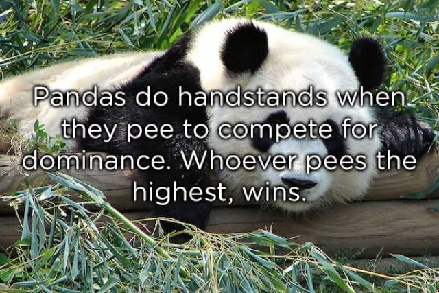 Panda - Pandas do handstands when they pee to compete for dominance. Whoever pees the highest, wins