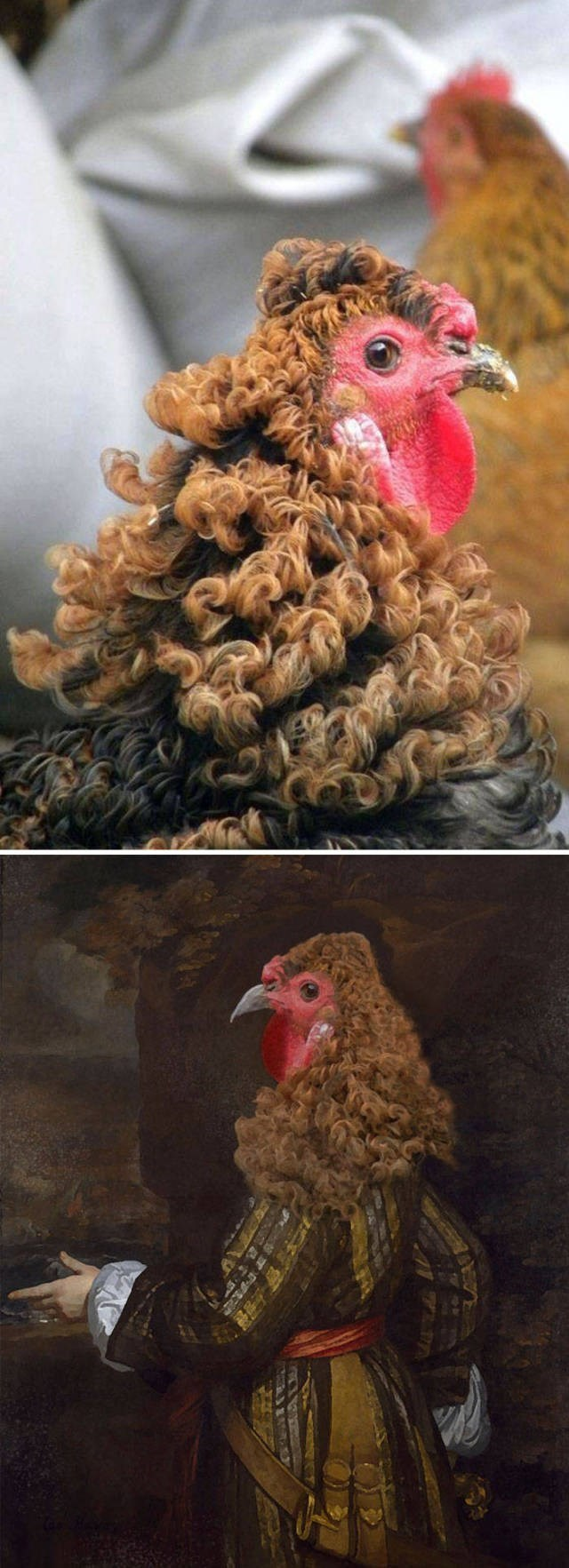 animal photoshop - Chicken