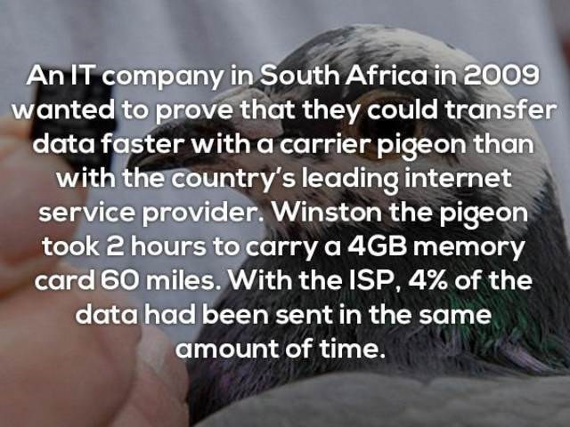 Text - An IT company in South Africa in 2009 wanted to prove that they could transfer data faster with a carrier pigeon than with the country's leading internet service provider. Winston the pigeon took 2 hours to carry a 4GB memory card 60 miles. With the ISP, 4% of the data had been sent in the same amount of time.