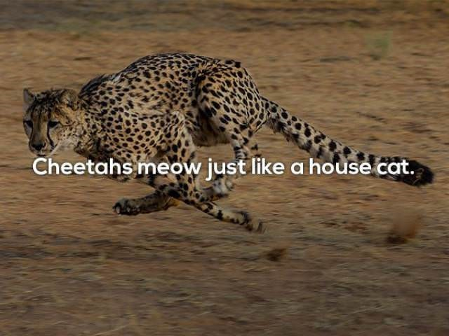 Terrestrial animal - Cheetahs meow just like a house cat.