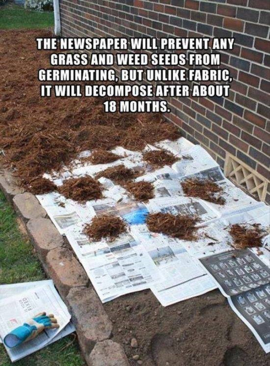 Soil - THE NEWSPAPER WILL PREVENT ANY GRASS AND WEED SEEDS FROM GERMINATING, BUT UNLIKE FABRICC IT WILL DECOMPOSE AFTER ABOUT 18 MONTHS.