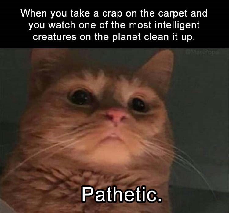 caturday - Cat - When you take a crap on the carpet and you watch one of the most intelligent creatures on the planet clean it up. Pathetic.