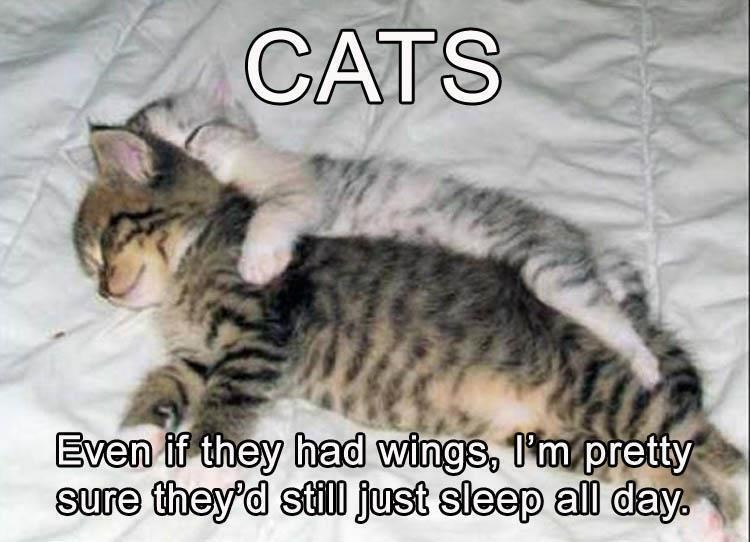 caturday - Cat - CATS Even if they had wings, 1m pretty sure they'd stil just sleep all day.