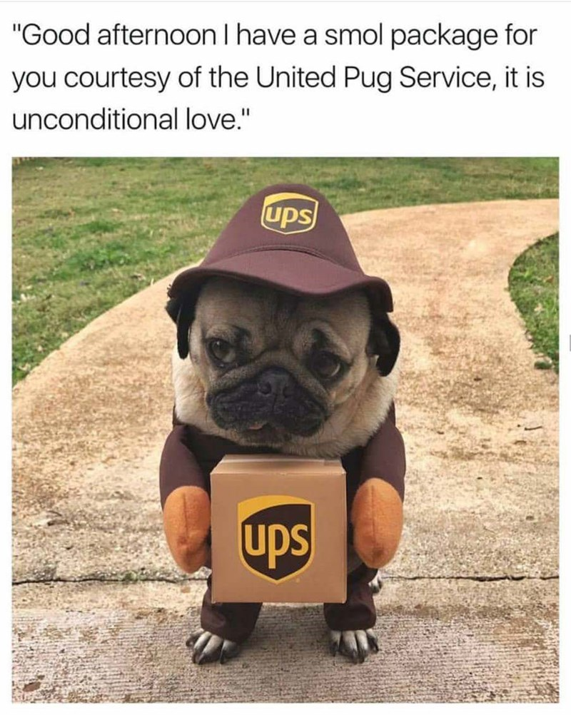 """Pug - """"Good afternoon I have a smol package for you courtesy of the United Pug Service, it is unconditional love."""" ups upS"""