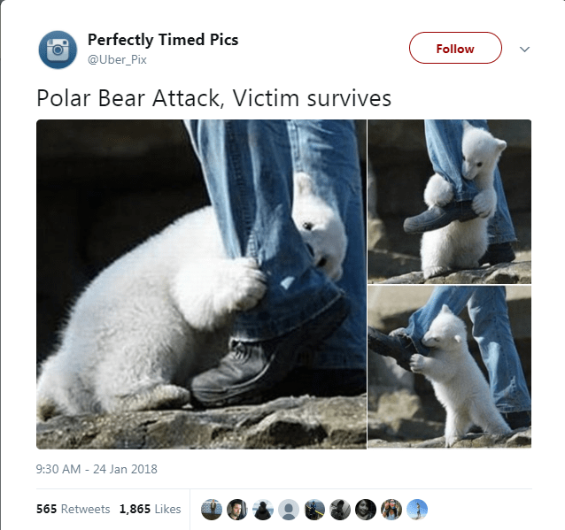Text - Perfectly Timed Pics Follow @Uber_Pix Polar Bear Attack, Victim survives 9:30 AM -24 Jan 2018 565 Retweets 1,865 Likes