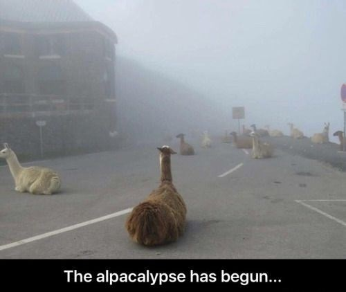 pun - Atmospheric phenomenon - The alpacalypse has begun...