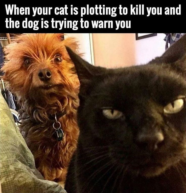 Cat - When your cat is plotting to kill you and the dog is trying to warn you