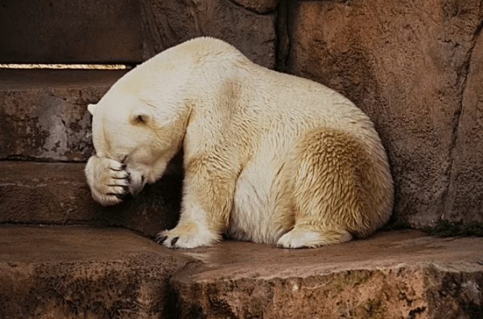 shy animal - Polar bear