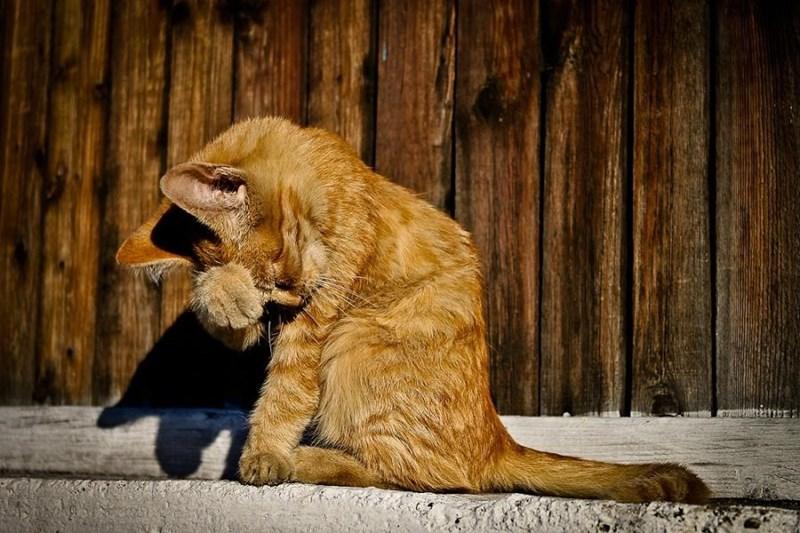 shy animal - Felidae