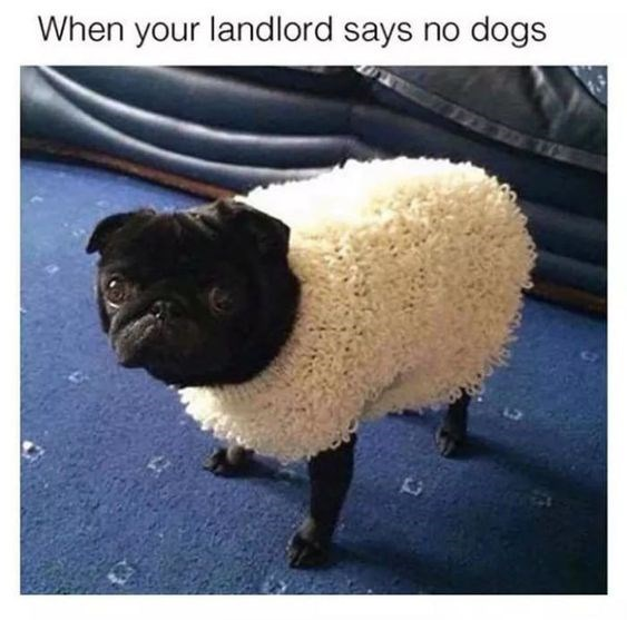 meme - Sheep - When your landlord says no dogs