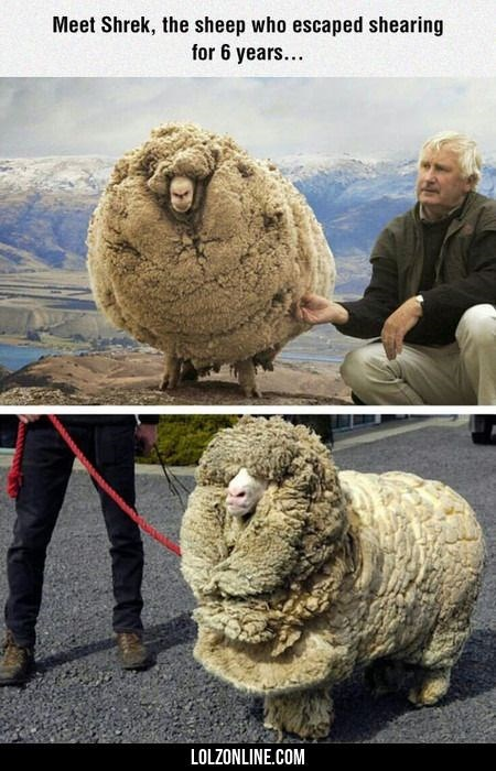 meme - Sheep - Meet Shrek, the sheep who escaped shearing for 6 years... LOLZONLINE.COM