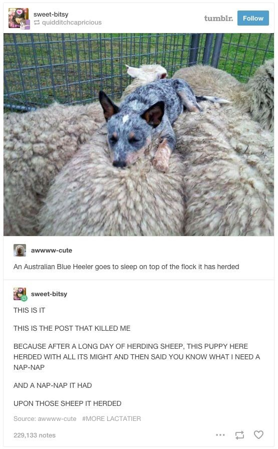meme - Vertebrate - sweet-bitsy quidditchcapricious tumblr. Follow awwww-cute An Australian Blue Heeler goes to sleep on top of the flock it has herded sweet-bitsy THIS IS IT THIS IS THE POST THAT KILLED ME BECAUSE AFTER A LONG DAY OF HERDING SHEEP, THIS PUPPY HERE HERDED WITH ALL ITS MIGHT AND THEN SAID YOU KNOW WHAT I NEED A NAP-NAP AND A NAP-NAP IT HAD UPON THOSE SHEEP IT HERDED Source: awwww-cute #MORE LACTATIER 229,133 notes