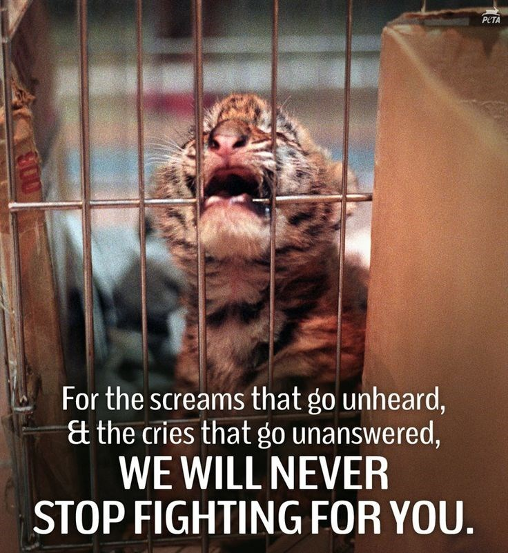 Bengal tiger - PETA For the screams that go unheard, &t the cries that go unanswered, WE WILL NEVER STOP FIGHTING FOR YOU. C00
