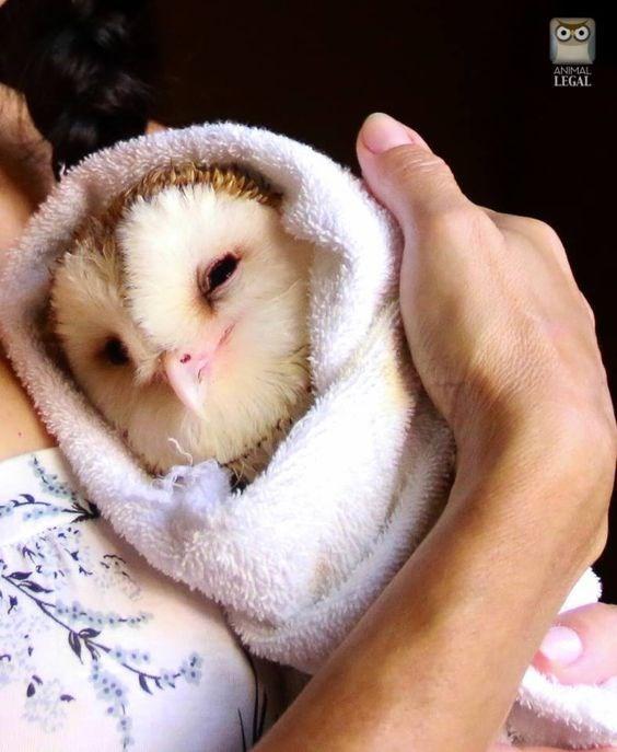 Barn owl - ANIMAL LEGAL