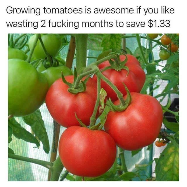 Natural foods - Growing tomatoes is awesome if you like wasting 2 fucking months to save $1.33
