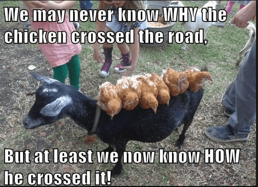 Photo caption - We may never know WHY the chicken crossed the road But at least we now know HOW he crossed it!