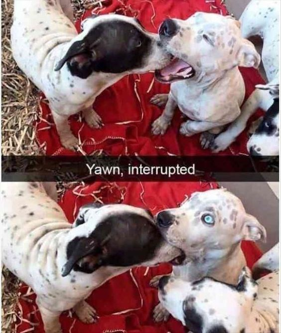 Dog - Yawn, interrupted
