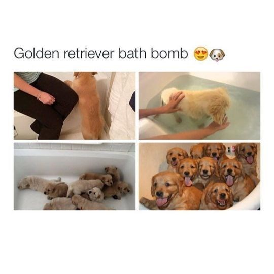 Funny friday animal meme of puppy bath bomb with pics of bath filled with golden retriever puppies