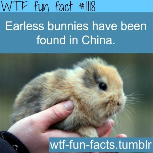 Mammal - WTF fun fact #I18 Earless bunnies have been found in China. wtf-fun-facts.tumblr