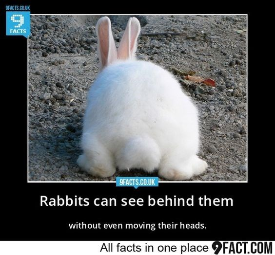 Hare - 9FACTS.CO.UK FACTS 9FACTS.CO.UK Rabbits can see behind them without even moving their heads. All facts in one place FACT.COM