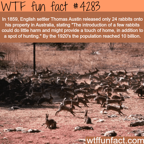 """Wildlife - WTF fun fact #4283 In 1859, English settler Thomas Austin released only 24 rabbits onto his property in Australia, stating """"The introduction of a few rabbits could do little harm and might provide a touch of home, in addition to a spot of hunting."""" By the 1920's the population reached 10 billion. wtffunfact.com"""