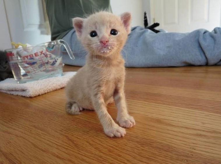 kitten milk mustache - Cat - REX