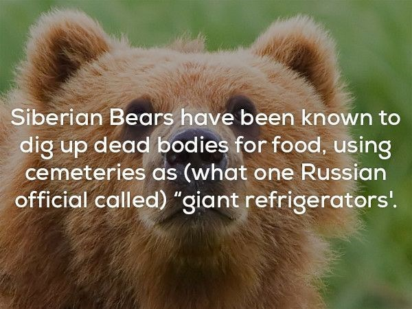 """Mammal - Siberian Bears have been known to dig up dead bodies for food, using cemeteries as (what one Russian official called) """"giant refrigerators."""