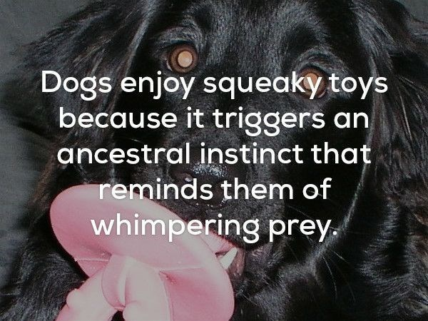 Dog breed - Dogs enjoy squeaky toys because it triggers an ancestral instinct that reminds them of whimpering prey