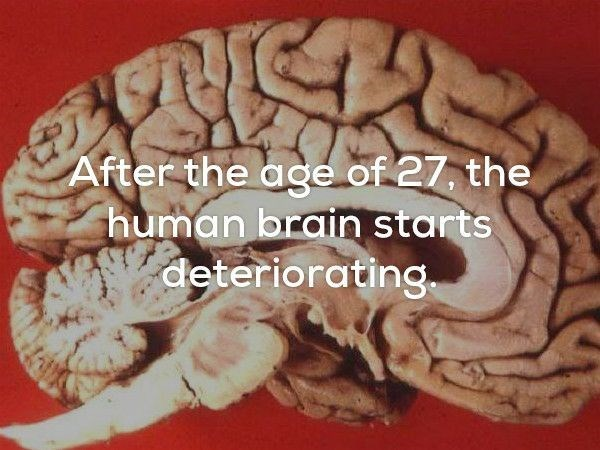 Brain - After the age of 27, the human brain starts deteriorating