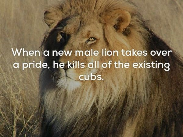 Lion - When a new male lion takes over a pride, he kills all of the existing cubs.