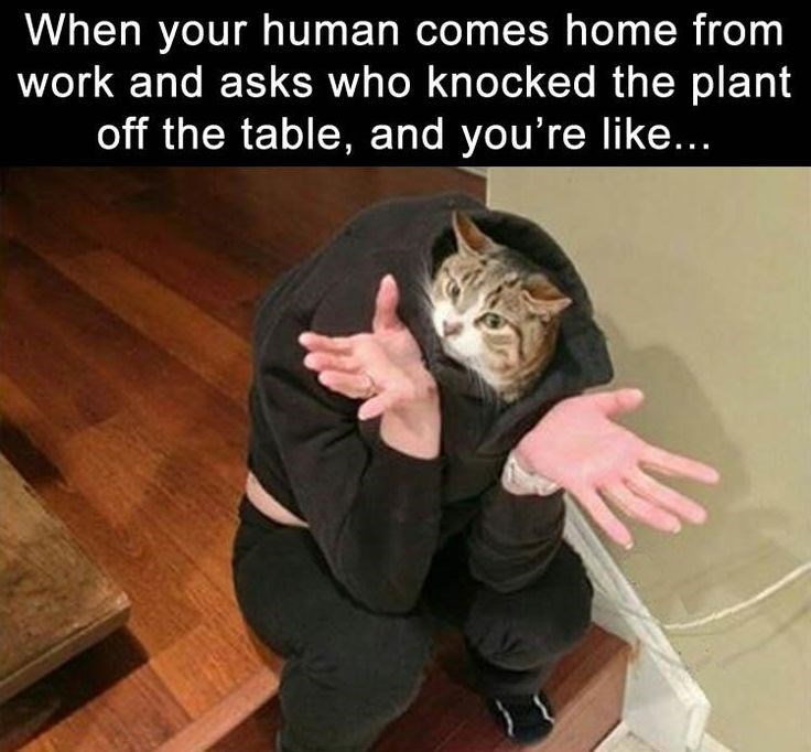 caturday meme about cats playing innocent with pic of a cat with a human body shrugging