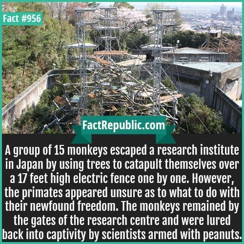 Compost - Fact #956 FactRepublic.com A group of 15 monkeys escaped a research institute in Japan by using trees to catapult themselves over a 17 feet high electric fence one by one. However, the primates appeared unsure as to what to do with their newfound freedom. The monkeys remained by the gates of the research centre and were lured captivity by scientists armed with peanuts.