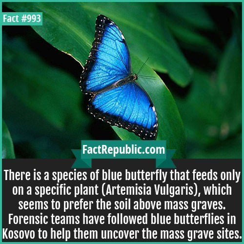 Butterfly - Fact #993 FactRepublic.com There is a species of blue butterfly that feeds only on a specific plant (Artemisia Vülgaris), which seems to prefer the soil above mass graves. Forensic teams have followed blue butterflies in |Kosovo to help them uncover the mass grave sites.