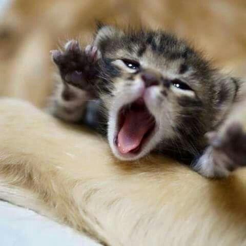 kitten roar - Cat
