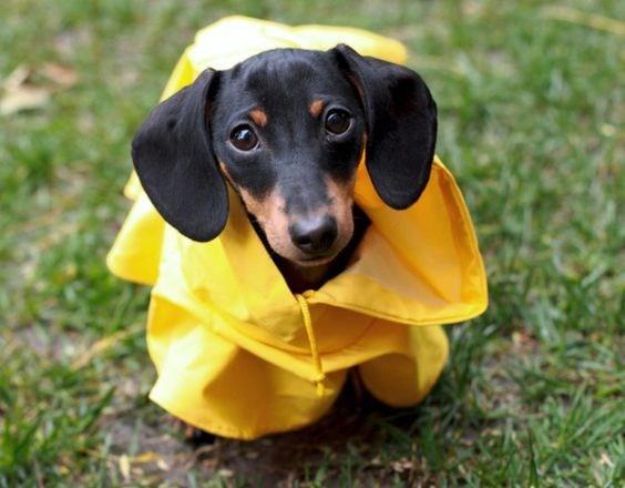 pets in rain coats - Dog