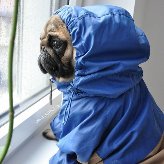 pets in rain coats - Pug - @NutelloThePug