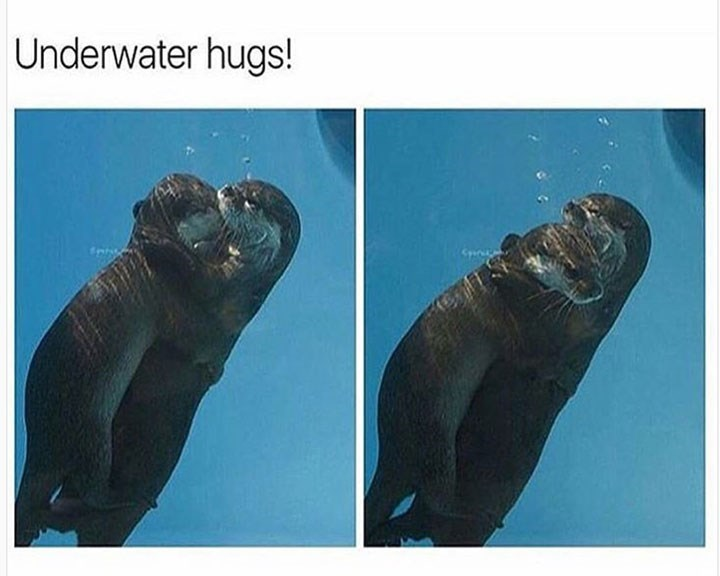 sunday meme of two otters hugging each other underwater